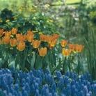 Tulip Gernaraal de Wet - Single Early