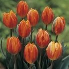 Tulip Princess Irene - Single Early