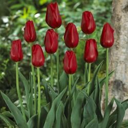 Tulip Kingsblood - Single Late