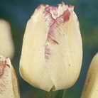 Tulip Shirley - Single Late