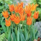 Tulip Ballerina - Lily-flowered