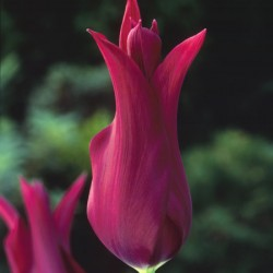 Tulip Burgundy - Lily-flowered