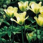 Tulip Spring Green - Viridiflora