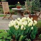 Tulip White Emperor (Purissima) - Fosteriana