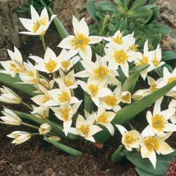 Tulip Turkestanica - Miscellaneous
