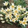 Tulip Turkestanica - Miscellaneous