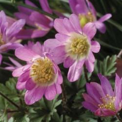 Anemone blanda Violet Star