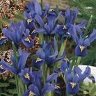 Iris reticulata Joyce