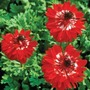 Anemone coronaria The Governor
