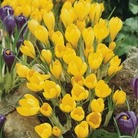 Large Flowered Crocus Collection
