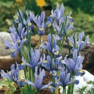 Iris reticulata Collection