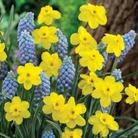 Narcissus Chiva