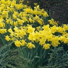 Large Cupped Narcissus Duo Pack