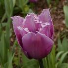 Tulip Blue Heron - Fringed