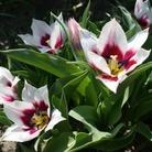 Tulip Lac Van Rijn