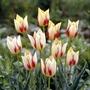 Tulip marjolettii