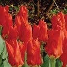 Tulip Red Emperor - fosteriana