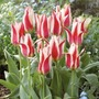 Tulip Buddy - greigii