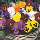 Autumn Bedding Plant Collection - 120 Plants
