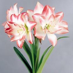 Hippeastrum Blossom Pink