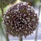 Summer Drummer Allium Bulbs