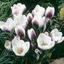 Crocus chrysanthus Prins Claus
