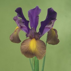 Gipsy Beauty Iris x hollandica Bulbs