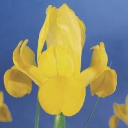 Golden Beauty Iris x hollandica Bulbs