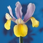 Oriental Beauty Iris x hollandica Bulbs