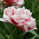 Tulip Gerbrand Kieft - Double Late