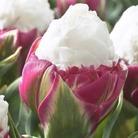 Tulip Ice Cream - Double Late