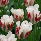 Tulip Flaming Spring Green - Viridiflora