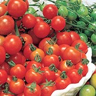 Greenhouse Tomato Plant Collection
