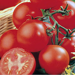 Tomato Shirley x3 Plants (Cordon)