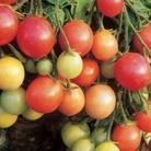 Tomato Garden Pearl x3 Plants (Bush)