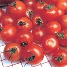 Tomato Gardener's Delight x3 Plants (Cordon)