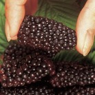 Blackberry Plant: Black Butte