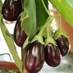 Aubergine Ophelia Plants x3