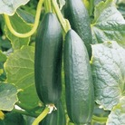 Cucumber Ilas Plants x3