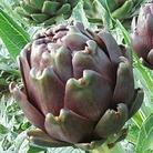 Artichoke Violet Globe Plants x10