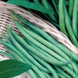 Dwarf French Bean Delinel Plants
