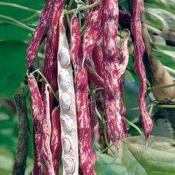 French Bean Solista Plants x12
