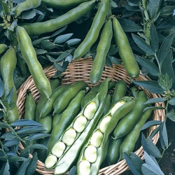 Broad Bean The Sutton Plants x16