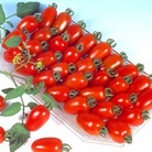 Tomato Tropical Ruby Plants x3  (Bush)