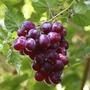 Seedless Grape Duo Pack