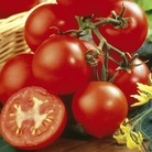 Grafted Tomato Shirley Plants x3