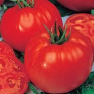 Grafted Tomato Velocity Plants x3