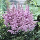 Astilbe Heart and Soul* (1 Bare Root)