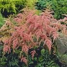 Astilbe Straussenfender* (1 Bare Root)