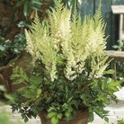 Astilbe Diamonds and Pearls* (1 Bare Root)